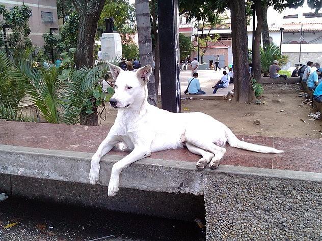 Perro en situación de calle en la plaza Las Mercedes, bulevar Panteón, en Caracas. Foto: Nadesjka Landaeta