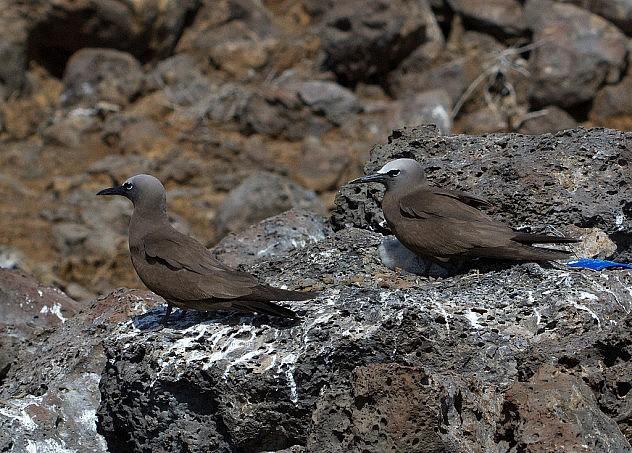 Aves comienzan a regresar a la isla Ascensión, luego de que se sacaran a los gatos salvajes. Graham Ekins