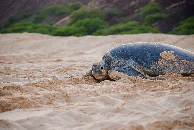 La isla Ascensión es un lugar permanente de desove para numerosas tortugas. Foto: a_willis en Flickr