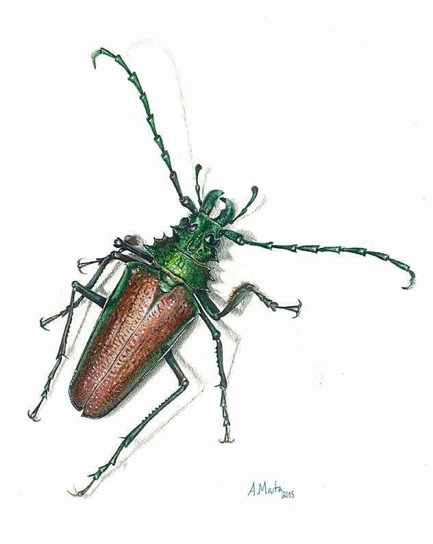 Psalidognathus-friendii-de-Astolfo-Mata