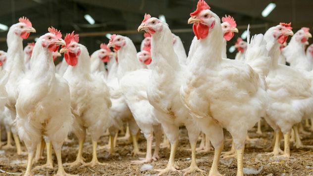 pollos1
